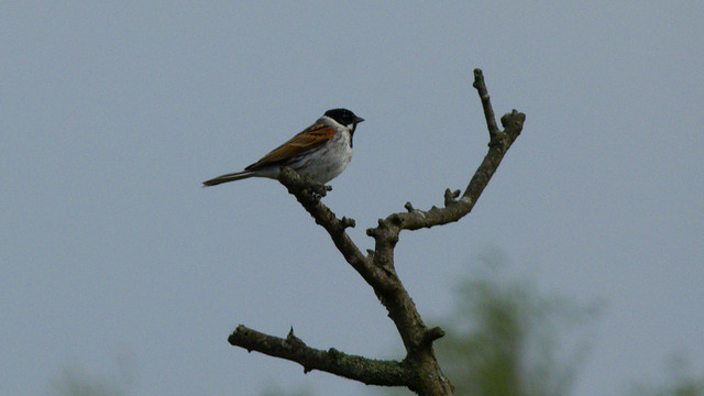Reed bunting in a bush, Doxey