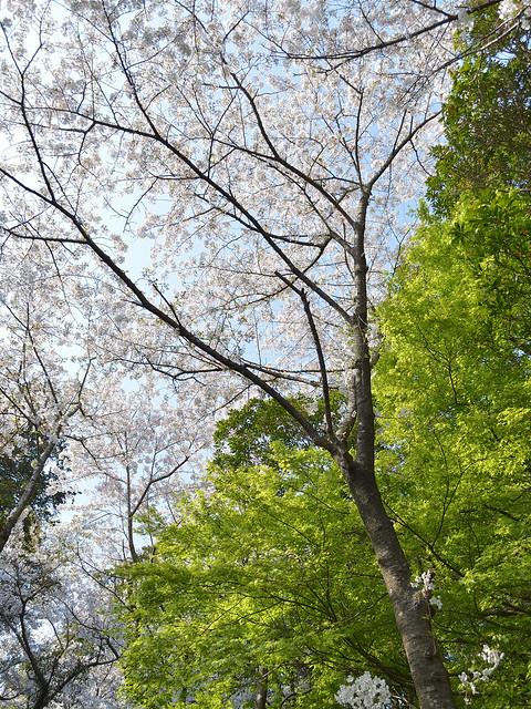 サクラと春モミジ
