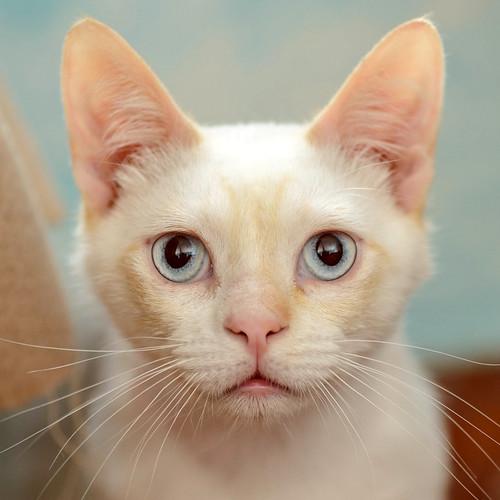 Corinto, gatito siamés Red Point muy guapo, esterilizado tímido y bueno nacido en Octubre´18, en adopción. Valencia. 47666476091_06e833d6bd