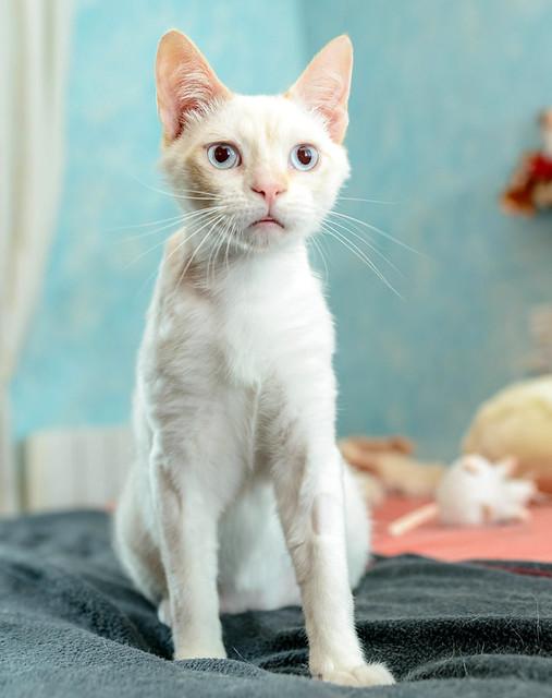 Corinto, gatito siamés Red Point muy guapo, esterilizado tímido y bueno nacido en Octubre´18, en adopción. Valencia. 47666476611_b47bc17ffd_z