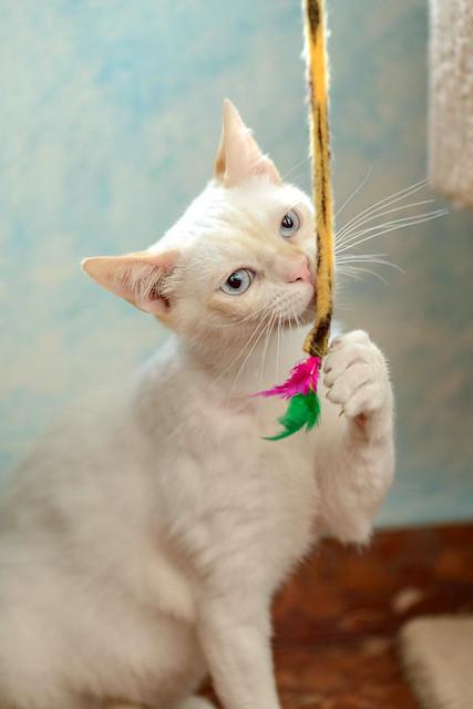 Corinto, gatito siamés Red Point muy guapo, esterilizado tímido y bueno nacido en Octubre´18, en adopción. Valencia. 47666476991_a1dc9fa5bf_z
