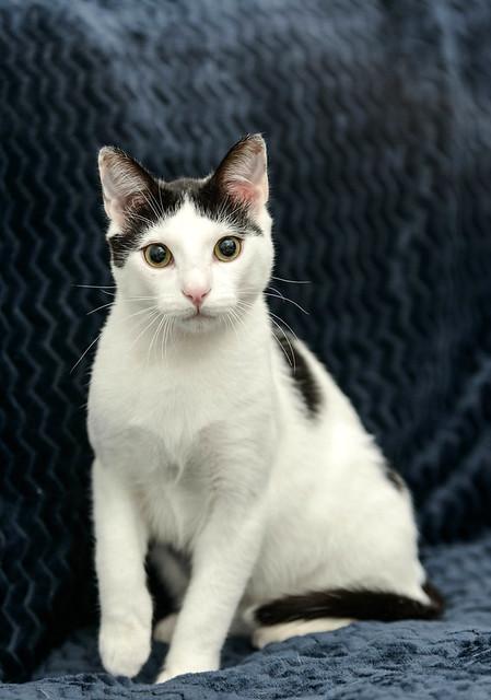 Morad, gatito blanco con toques negros muy juguetón esterilizado, nacido en Octubre´18, en adopción. Valencia. 47666488701_6102e3044e_z