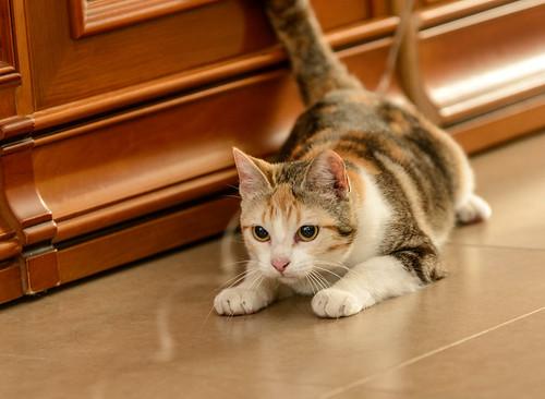 Zoe, gatita tricolor jaspeada divertida y guapa esterilizada, nacida en Septiembre´18, en adopción. Valencia. 47666533591_da5bd7b9eb