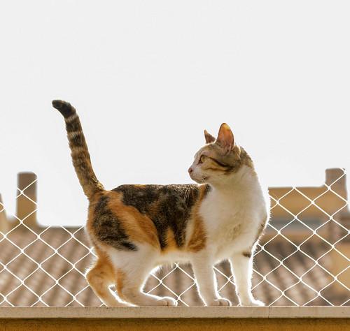 Zoe, gatita tricolor jaspeada divertida y guapa esterilizada, nacida en Septiembre´18, en adopción. Valencia. 47666534541_e669ec4e50