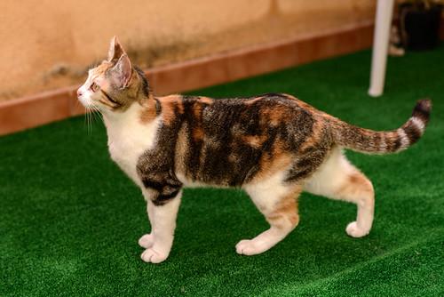 Zoe, gatita tricolor jaspeada divertida y guapa esterilizada, nacida en Septiembre´18, en adopción. Valencia. 47666534931_0f8e613884
