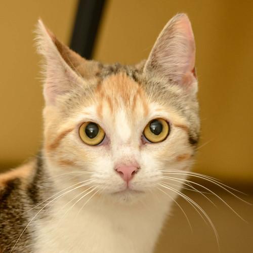 Zoe, gatita tricolor jaspeada divertida y guapa esterilizada, nacida en Septiembre´18, en adopción. Valencia. 47666535911_2192a6cb1b