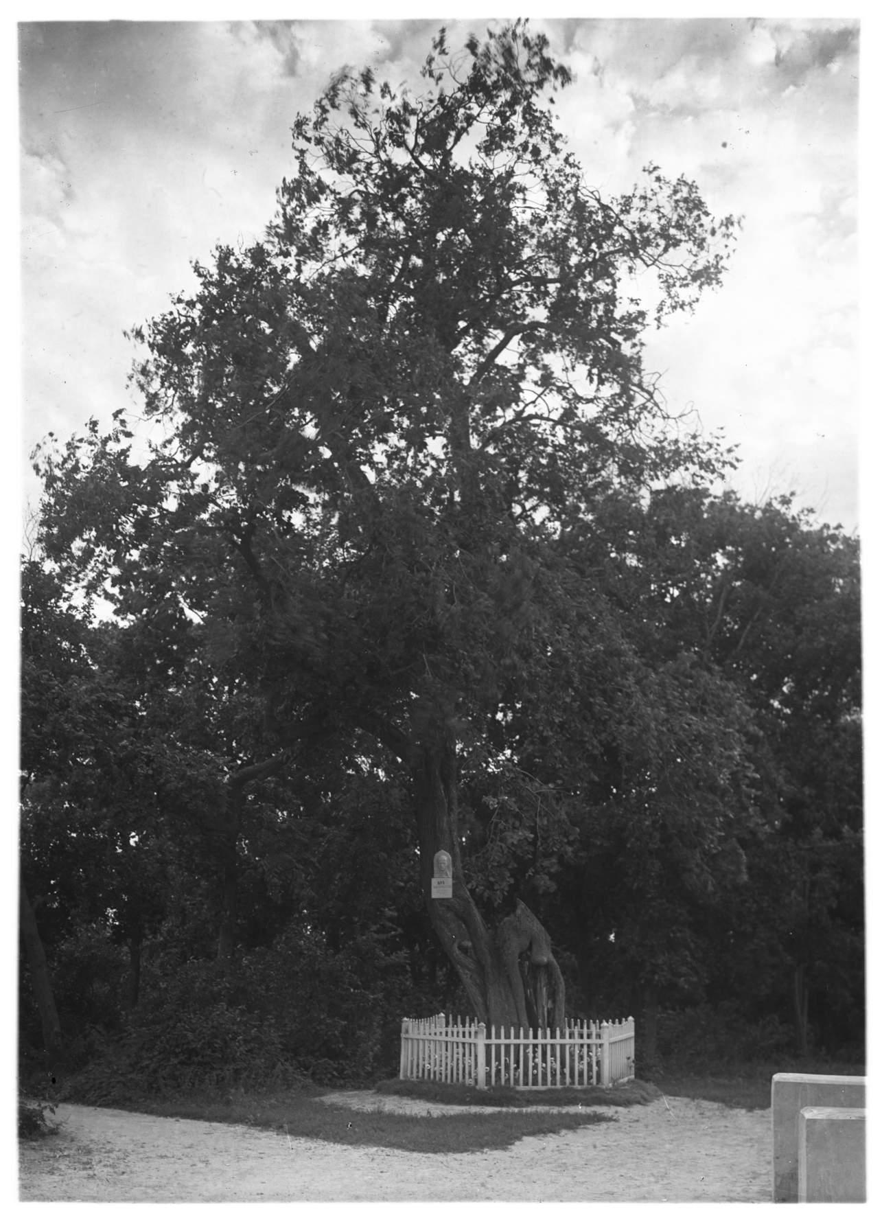 На этом вязе когда- то устраивались качели  для Лермонтова-ребенка