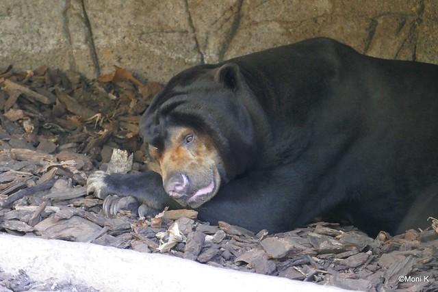 40-Malayenbär