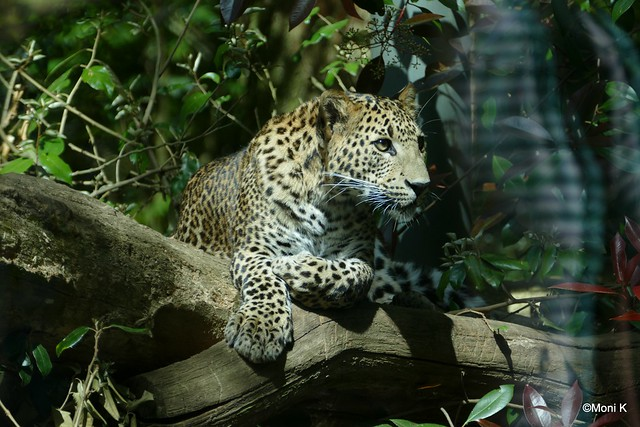 35-China-Leopard