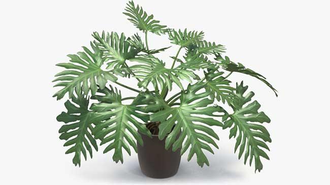 Jenis Philodendron selloum