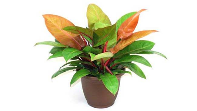 Philodendron prince-of-orange