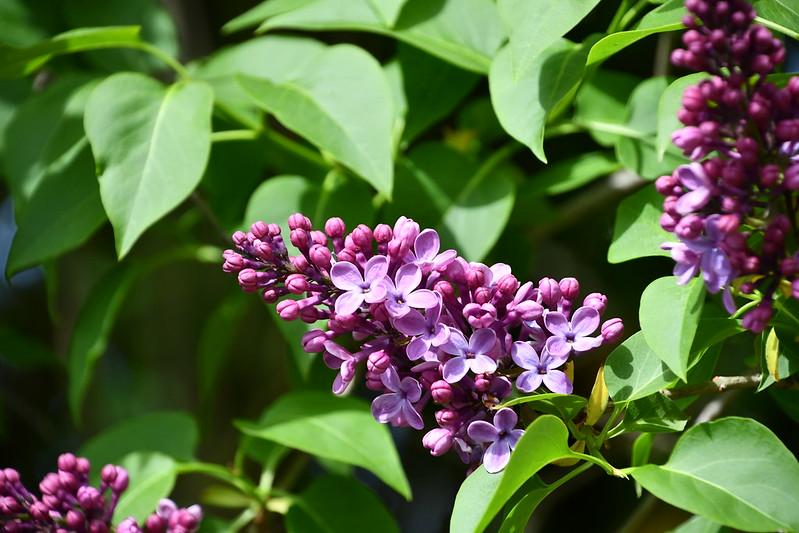 Lilac 22.04 (2)