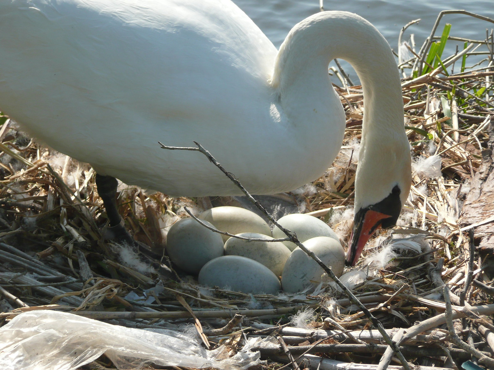Swan turning her eggs Eggs over easy?
