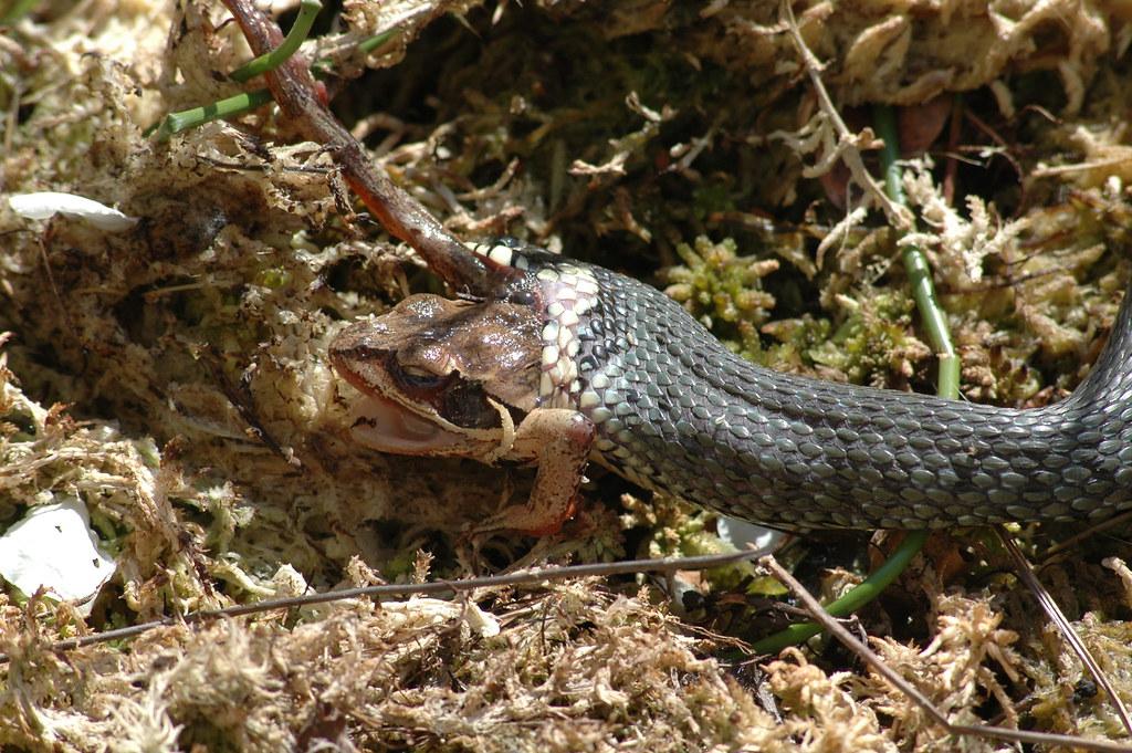 Natrix natrix with frog