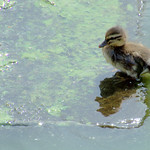 Duckling at Preston Docks