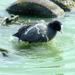 Moorhen having a bath at Preston Docks