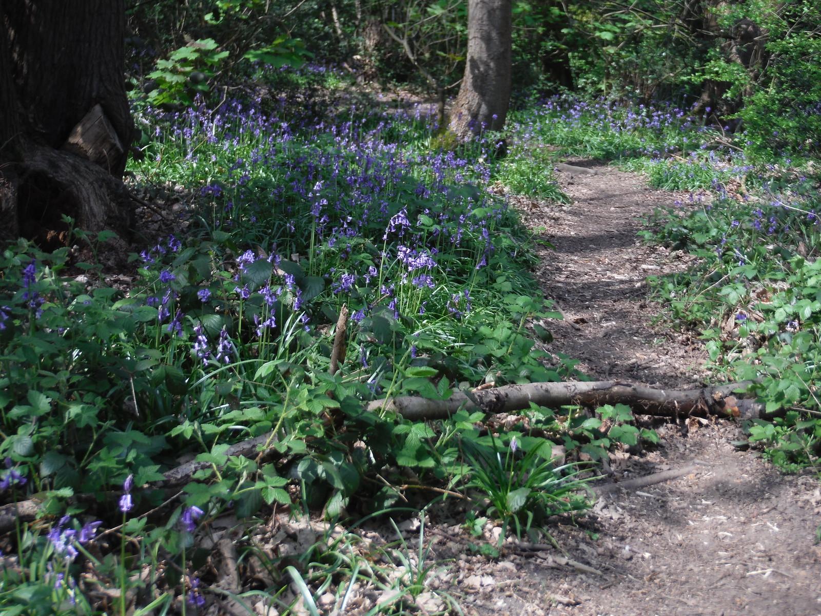 Bluebells in Beckenham Place Park SWC Short Walk 36 - Waterlink Way (Lower Sydenham to Greenwich) [Ravensbourne Start]