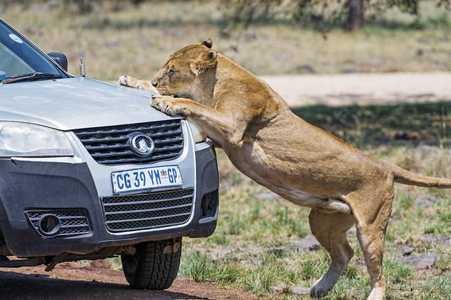 Lioness attacking car