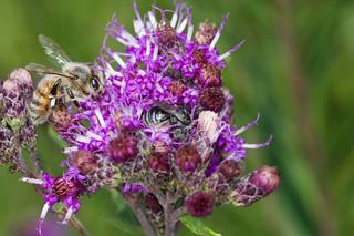 Melissodes and honeybee on ironweed P14 081018