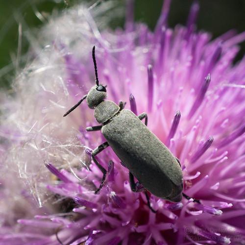 riograndecity texas unitedstatesofamerica file:name=dsc00063 macro insect bug beelte