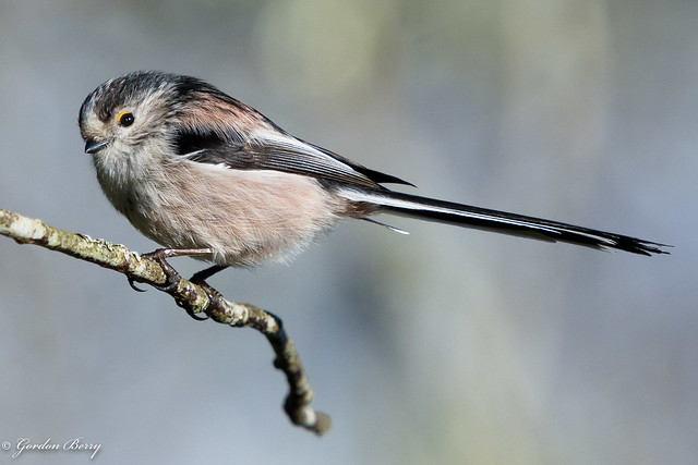 Long Tailed Tit 9-Mar-19 G_009