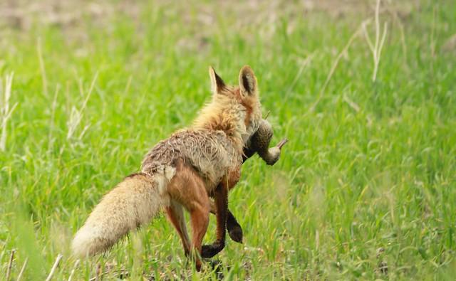 Fox caught a duck