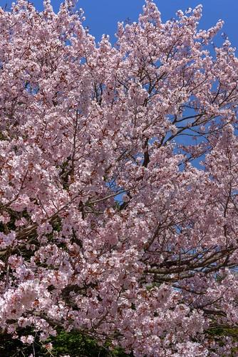 28-04-2019 Sakura in Maruyama area, Sapporo (11)