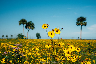 Sunflowers on the St. Johns