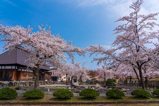 銭淵公園の桜は見頃