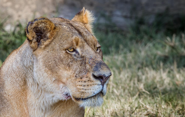 Fenale Lion