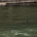 Common Goldeneye pair