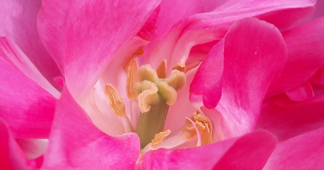 The pink tulip....