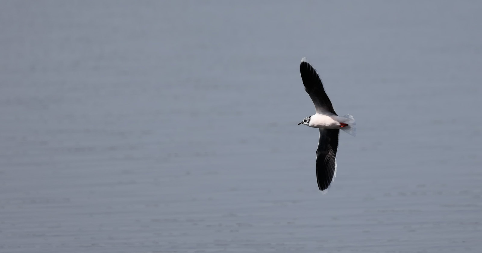 Little Gull [ Hydrocoloeus minutus ]