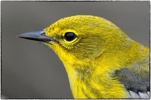 warbler warblers cincinnatinaturecenter ohio raphaelkopanphotography d500 600mmf4evr 14xtciii nikon
