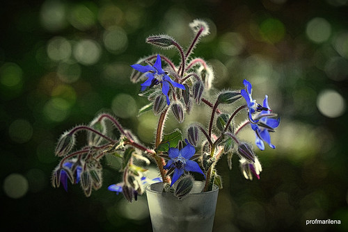 1-2019-04-285 borage, borragine