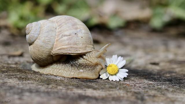 Weinbergschnecke - vineyard snail