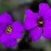 Violette II
