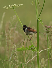 Reed bunting 120616 6600