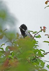 Reed bunting 120616 6667
