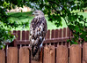 Red-tailed hawk, immature, (Buteo jamaicensis) by Mark Millsap