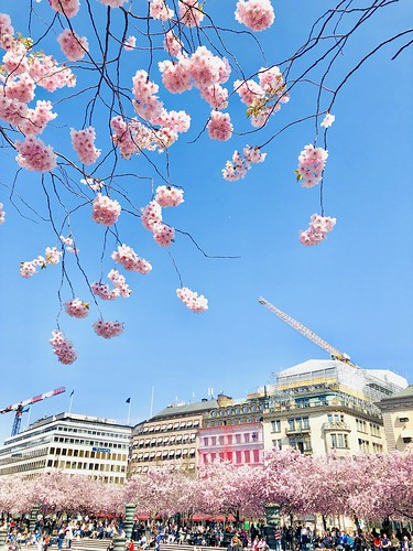 cherry blossom kungsträdgården, stockholm, sweden, april 2019