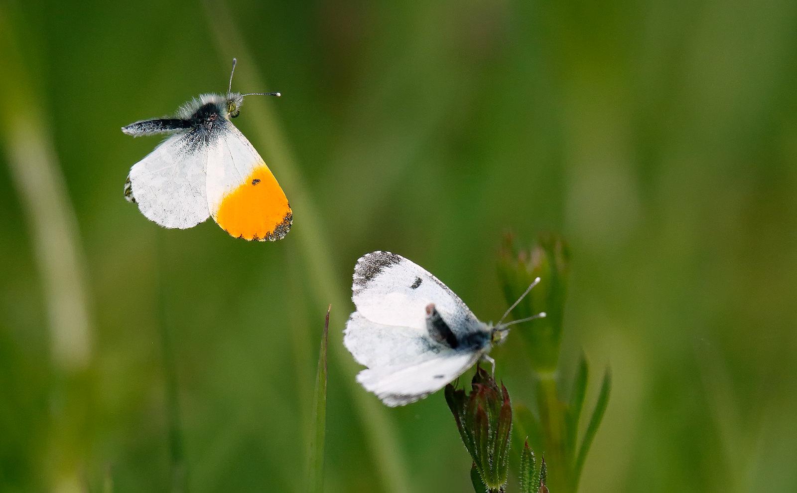 Orange Tip - male & female