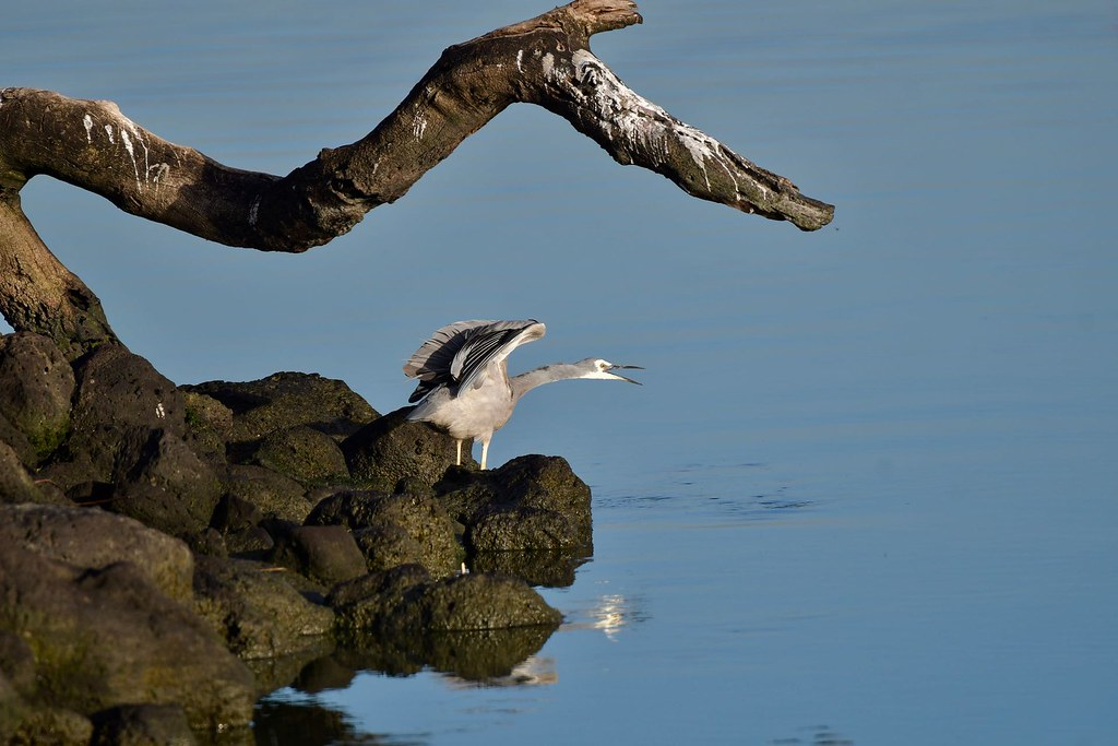 White-faced Heron ( just having a stretch )