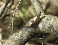Anole Lizard at Congaree National Park