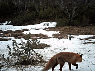 two foxes (and one crow)