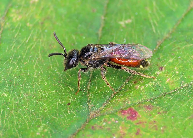 Sandpit Blood Bee - Sphecodes pellucidus
