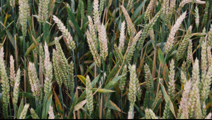 A field of wheat infected with Fusarium Head Blight