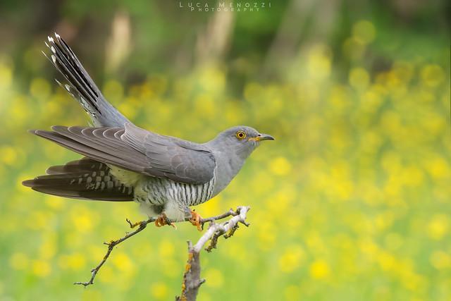 Cuculo - Common cuckoo
