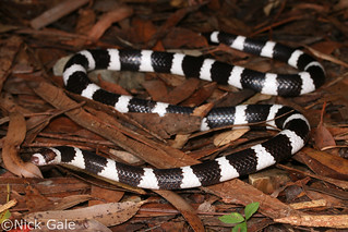 Bandy Bandy (Vermicella annulata) | by Nick Gale