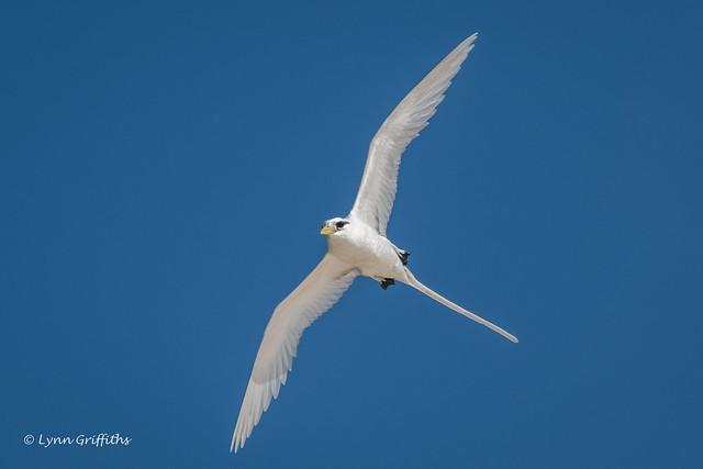 White-tailed Tropicbird 501_8527.jpg